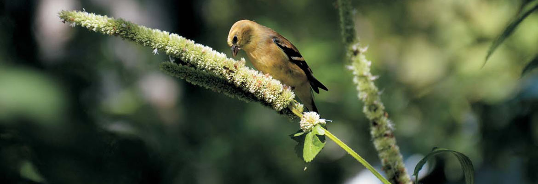 American Goldfinch on Agastache(Photograph: Paul LaPorte)