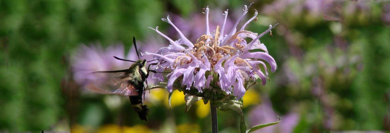 Moth on Monarda  (Photograph: Ruth Zaugg)
